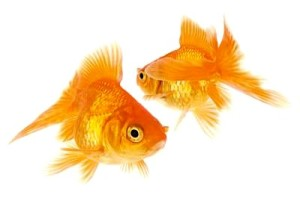 2-goldfish